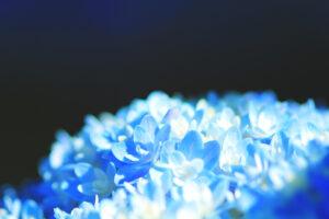 個人的に青の紫陽花が好き