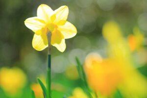 春の京都植物園 水仙かな?