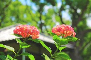 仲良しの紫陽花