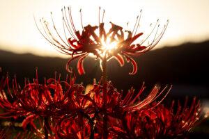 大原の夕焼けバック彼岸花